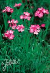 DIANTHUS carthusianorum   Portion(en)