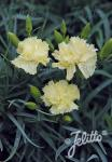 DIANTHUS caryophyllus fl. pl. Grenadin-Series 'Grenadin Yellow' Portion(s)