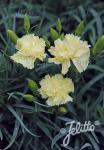 DIANTHUS caryophyllus fl. pl. Grenadin-Serie 'Grenadin Gelb' Portion(en)