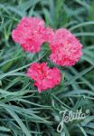 DIANTHUS caryophyllus fl. pl. Grenadin-Serie 'Grenadin Rosa' Portion(en)