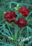DIANTHUS caryophyllus fl. pl. Grenadin-Series 'Grenadin Red' Portion(s)