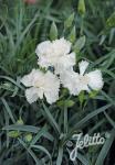 DIANTHUS caryophyllus fl. pl. Grenadin-Series 'Grenadin White' Portion(s)