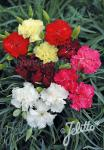 DIANTHUS caryophyllus fl. pl. Grenadin-Series 'Grenadin Mixture' Portion(s)