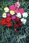 DIANTHUS caryophyllus  'Vienna Mixture' Portion(s)