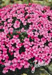 DIANTHUS microlepis   Portion(s)