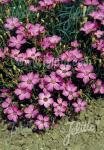 DIANTHUS pavonius   Portion(en)