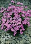 DIANTHUS nitidus   Portion(en)