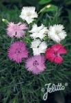 DIANTHUS plumarius  Mixture Portion(s)