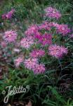 DIANTHUS superbus  Primadonna' Portion(s)