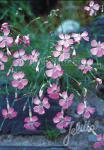 DIANTHUS sylvestris   Portion(en)