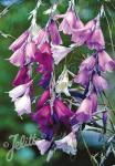 DIERAMA pulcherrimum  'Slieve Donard Hybr.' Portion(s)