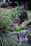 DIERAMA pulcherrimum  'Dark Cerise' Portion(s)