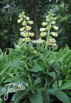 DIGITALIS ambigua  'Cream Bell'(TM) Portion(en)