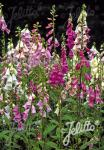 DIGITALIS purpurea  'Excelsior' Portion(s)