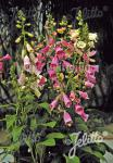 DIGITALIS purpurea  'Foxy' Portion(en)