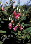 DIGITALIS thapsi  Spanish Peaks® Portion(s)