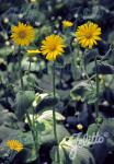 DORONICUM austriacum   Portion(s)