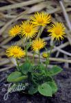 DORONICUM orientale  'Finesse' Portion(en)