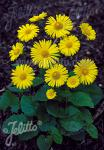 DORONICUM orientale  'Leonardo'(TM) Portion(s)