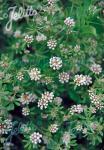 DORYCNIUM pentaphyllum ssp. germanicum