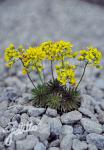 DRABA lasiocarpa   Portion(s)