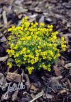 DRABA bruniifolia ssp. olympica   Portion(s)