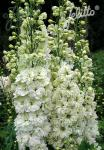 DELPHINIUM Elatum F1-Hybr. New Millennium Series 'Green Twist' Portion(s)