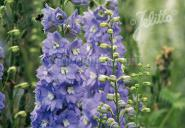 DELPHINIUM Elatum F1-Hybr. New Millennium Series 'Lilac Ladies' Portion(s)