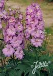 DELPHINIUM Elatum F1-Hybr. New Millennium Series 'Pink Princess' Portion(s)