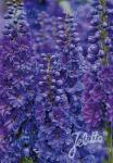 DELPHINIUM Elatum F1-Hybr. New Millennium Serie 'Pagan Purples' Portion(en)