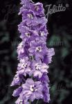 DELPHINIUM Pacific-Hybr. Magic Fountains-Series 'Magic Fountains Lavender', white bee