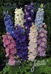 DELPHINIUM Pacific-Hybr. Magic Fountains-Series 'Magic Fountains Mixture' Portion(s)