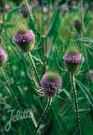 DIPSACUS sylvestris   Portion(en)