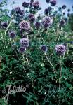 ECHINOPS bannaticus  'Blue Glow' Portion(s)