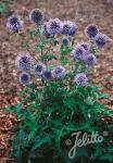 ECHINOPS ritro   Portion(en)