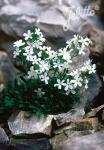 ERINUS alpinus var. albus   Portion(en)