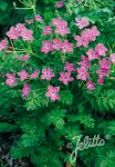 ERODIUM manescavii   Portion(en)