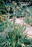 ERYNGIUM agavifolium   Portion(s)