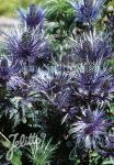 ERYNGIUM alpinum  'Blue Star®' Portion(en)