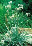 ERYNGIUM yuccifolium   Portion(s)