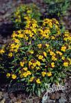 ERYSIMUM hybridum  'Canaries' Portion(s)