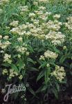 EUPATORIUM perfoliatum   Portion(s)