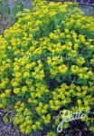 EUPHORBIA corallioides   Portion(en)