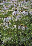 ECHINACEA pallida  'Hula Dancer' Seeds