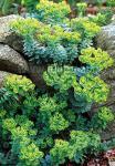 EUPHORBIA myrsinites   Seeds