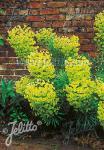 EUPHORBIA characias ssp. wulfenii   Seeds