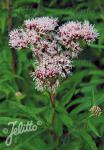 EUPATORIUM cannabinum   Portion(en)