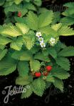 FRAGARIA vesca var. semperflorens  'Golden Alexandria' Portion(en)