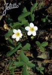 FRAGARIA virginiana   Portion(en)