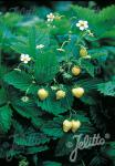 FRAGARIA vesca var. semperflorens  'Alpine Yellow' Portion(en)